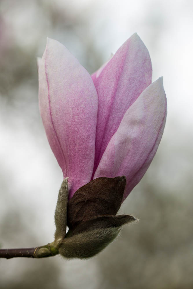 Magnolia 'Big Dude' in bloei – 6 april 2016