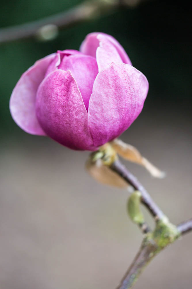 Magnolia 'Black Tulip' ('Vulcan' x 'lolanthe') in bloei – 6 april 2016