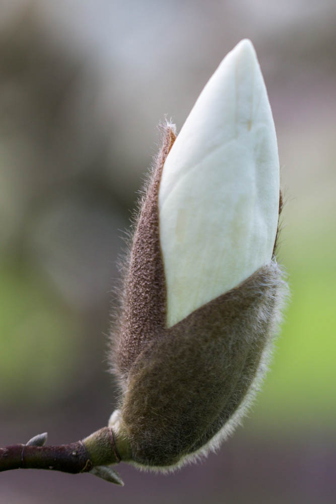 Magnolia 'Manchu Fan' (M. x soul. 'Lennei Alba' x M. x veitchii) in bloei – 6 april 2016