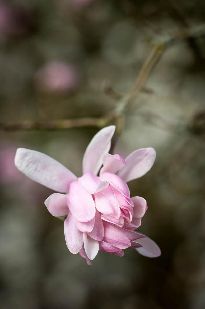 Magnolia stellata 'Shi Banchi Rosea' in bloei – 6 april 2016
