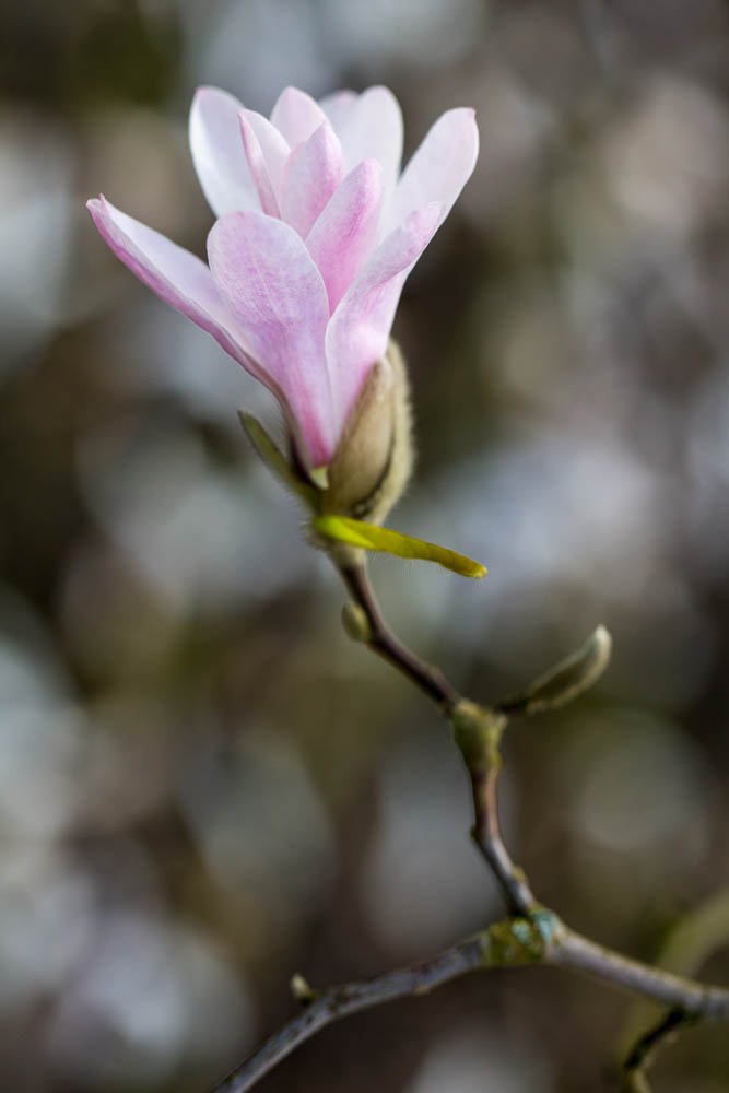 Magnolia x loebneri 'Leonard Messel' in bloei – 6 april 2016