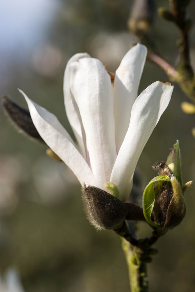 Magnolia x soulangiana 'Speciosa' in bloei – 6 april 2016