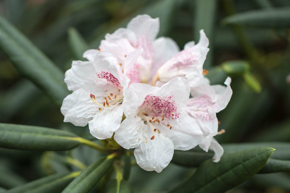 Rhododendron calophytum in bloei – 6 april 2016