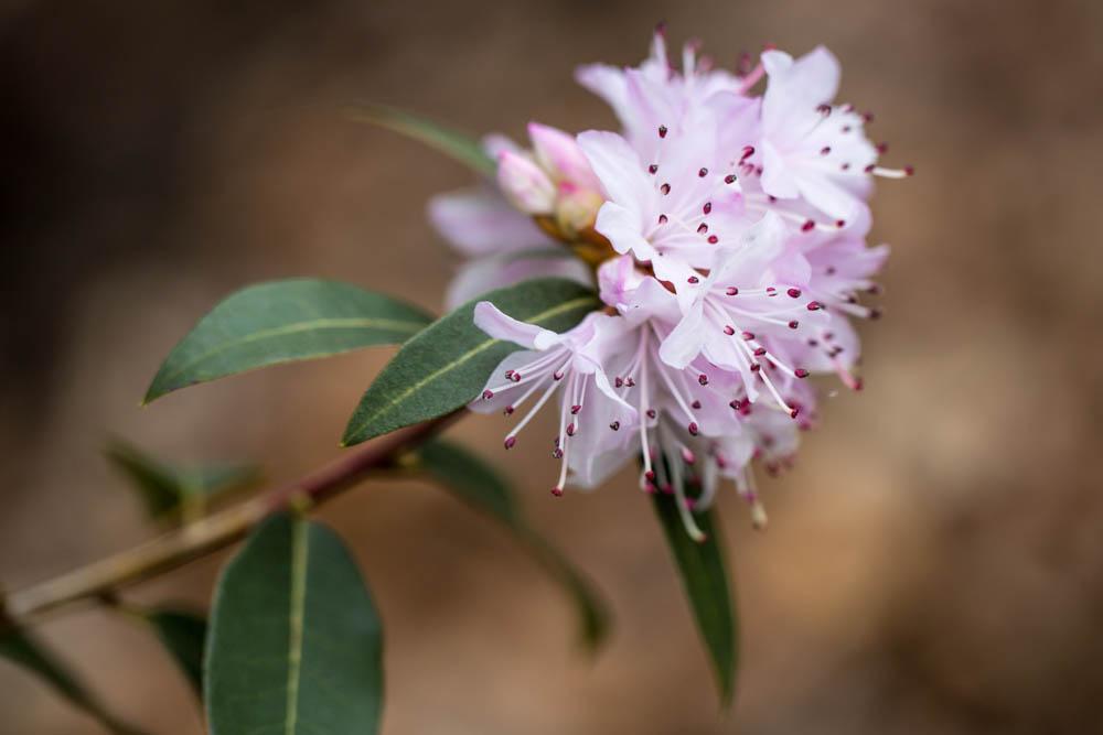 Rh. tatsienense in bloei – 6 april 2016