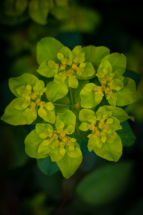 Euphorbia (1 van 1)