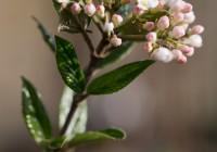 Viburnum burkwoodii in bloei – 31 maart 2017