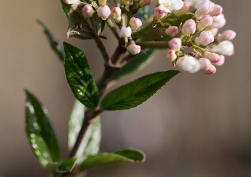 Viburnum burkwoodii (1 van 1)