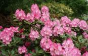 Rhododendron 'Hachmann's Polaris' in bloei – 11 mei 2017