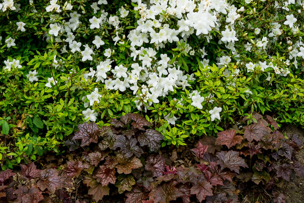 Rhododendron 'Silver Fountain' & Heuchera v 'Purple Palace' (1 van 1)