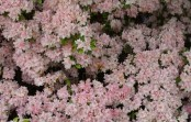 Rhododendron 'Yamato-no-tsuki' in bloei – 11 mei 2017