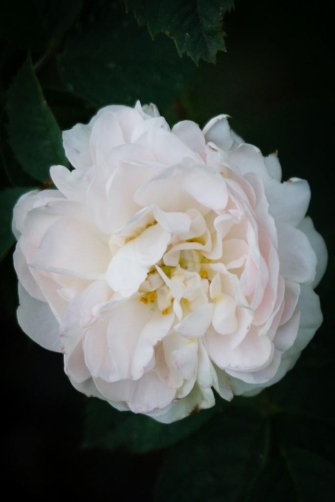 Rosa Alba Maxima (1 van 1)