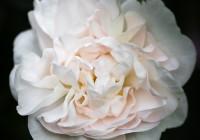 Rosa 'Alba Maxima' in bloei – 24 mei 2017