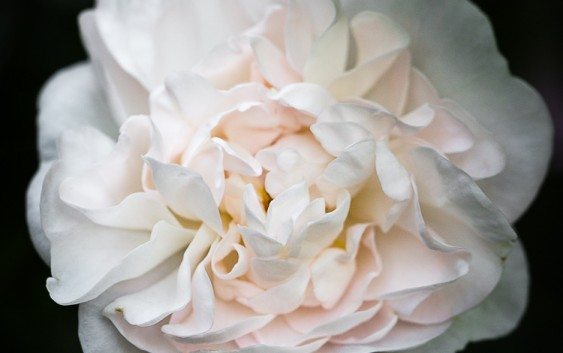 Rosa Alba Maxima - canon (1 van 1)
